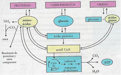funciones del metabolismo suplements