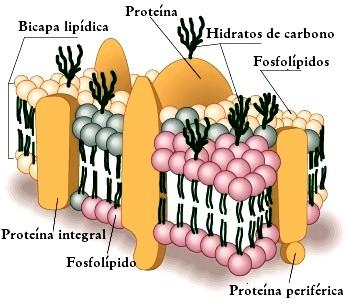 6 Ciencias 3 Lección La Pared Y La Membrana Celular La